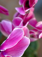 La flor del pati