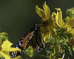 MonarchButterfly_SAF6675 (sara97) Tags: danausplexippus butterfly copyright©2018saraannefinke endangered missouri monarch monarchbutterfly nature photobysaraannefinke pollinator saintlouis towergrovepark