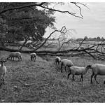 Par les champs les moutons.sur les bords du canal du Forez . thumbnail