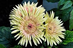 Flower (chooyutshing) Tags: flower flowerdome gardensbythebay baysouth marinabay singapore