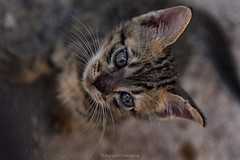 sometimes you need to look at life in a different perspective (@Katerina Log) Tags: cat pet tiger katerinalog stray animal eyes sonyilce6500 nature bokeh depthoffield daylight 105mmf28 portrait life
