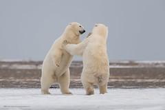 Polar Dance (Khurram Khan...) Tags: conservation wildlife wild wildlifephotography wwwkhurramkhanphotocom winter nikonnofilter nikonwildlife iamnikon alaska arcticocean seaice