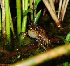 Litoria peroni (Heidi Prichard) Tags: frog amphibian australianfrogs litoria litoriaperoni