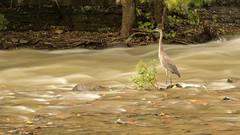Wading Heron (Ronda Hamm) Tags: 1585mm 7dii bird ithaca ny animal canon greatblueheron heron longexposure nature water wildlife