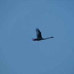 Swan overhead (Dave_A_2007) Tags: bird nature swan wildlife stratfordonavondistrict warwickshire england