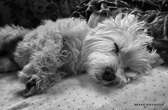 Sleepyhead (mswan777) Tags: mobile iphone iphoneography apple monochrome black terrier white highland west nose fur rest indoor cute sleep dog pet