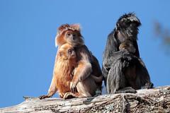 javan langur apenheul 094A1108 (j.a.kok) Tags: animal aap asia azie mammal monkey langur langoer javaanselangoer javanlangur apenheul primate primaat zoogdier dier