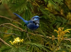 Splendid fairywren - male Malurus splendens (Maureen Pierre) Tags: bibralake perth westernaustralia male bright blue tiny passerine bird perch pair