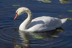 Solitary Swan (Greg Jarman) Tags: birds animals closeup nature olympus omd em1 40150 micro four thirds m43