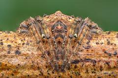 Wrap-around orb weaver (Talthybia sp.) - DSC_4629 (nickybay) Tags: singapore dairyfarmnaturepark macro talthybia wraparound orb weaver spider araneidae