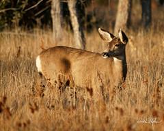 Mule Deer Doe (dcstep) Tags: dsc2056dxo deer doe muledeer cherrycreekstatepark colorado usa sonya9 fe100400mmf4556gmoss nature urban urbannature allrightsreserved copyright2018davidcstephens dxophotolab
