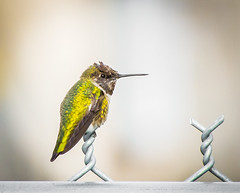 Room for One More. (Omygodtom) Tags: wildlife juvenile natural nature nikon70300mmvrlens fence outside dof d7100 bird annashummingbird existinglight