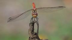 Sympetrum Vulgatum (Visual Stripes) Tags: dragonfly odonata insect sympetrum vulgatum invertebrate sigma105mm macro sigma panasoniclumixg1 microfourthirds mft m43 bokeh bokehlicious