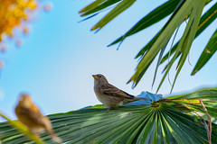Bird in the Sun (alexander_skaletz) Tags: bird sky blue tree trees leaves landscape landscapes d5300 nikon nikond5300 german germany sunny green sommer warm animal littlebird second vogel holz makro palm palmtree bodensee überlingen ueberlingen sun autumn