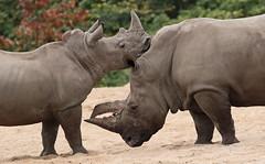 white rhino Burgerszoo 094A1177 (j.a.kok) Tags: rhino rhinoceros witteneushoorn whiterhino neushoorn animal afrika africa mammal zoogdier dier herbivore burgerszoo burgerzoo