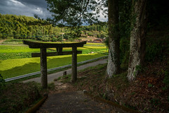 Life and shrine. (Yasuyuki Oomagari) Tags: 田舎の風景 bamboo torii shrine country countryside mountainside japan kyushu fukuoka evening nikon d850 distagont2821 zeiss 日本 九州 福岡県 神社 鳥居