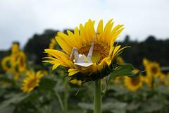 Paper Crane and Sunflower (Eridanus 21) Tags: ツルとヒマワリ sunflower origamipaper crane おりがみ 折り鶴 ヒマワリ 折り紙 花 flower flowerphotoツル origami papercrane 花写真 flowerphoto 花が好き