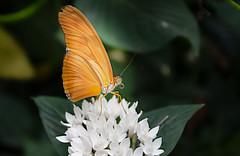 Papillon??? (Crilion43) Tags: région angers feuillesfeuillage maineetloire papillon paysdelaloire parc animaux paysages villes jardin