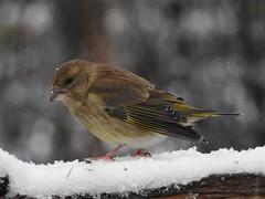 Greenfinch ♀ (Carduelis chloris) (eerokiuru) Tags: greenfinch carduelischloris grünling rohevint bird backyardbirds p900 nikoncoolpixp900