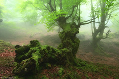 Dragon Quest (Hector Prada) Tags: forest bosque fog niebla mist bruma spring primavera tree árbol leaves hojas moss musgo roots raices dragon woods enchanted creepy basquecountry paísvasco