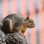 Squirrels in Ann Arbor at the University of Michigan - September 24th, 2018 thumbnail