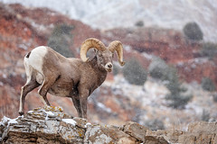 High Ground... (DTT67) Tags: ram bighornsheep fullcurl animal mammal mountains canon 5dmkiv wyoming wildlife nature