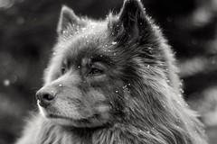Vintage lens (steffos1986) Tags: portrait bokeh dog animal blackwhite pet black white blackandwhite closeup supertakumar55mmf18 nikond5500