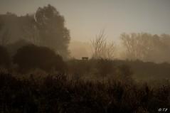 Oostvaardersveld in de ochtend mist,     Lelystad