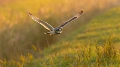 Get Shorty (Distinctly Average) Tags: phillluckhurst distinctlyaverage wwwdistinctlyaveragecouk wildlife bird bif shortearedowl cambridgeshire canon 7dmark2 handheld 100400ii