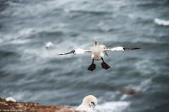 Morus bassanus#1 (vmonk65) Tags: helgoland insel nikon nikond810 nordsee island northsea