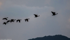 2018.10.03.2672 Geese (Brunswick Forge) Tags: 2018 virginia botetourtcounty nikond500 tamron150600mm bird birds animal animals outdoor outdoors wildlife nature sky air autumn favorited