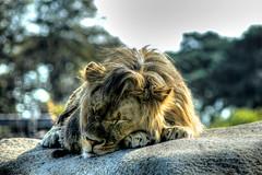 Schlafender Löwe - Sleeping Lion (vampire-carmen) Tags: schlafen sleeping löwe lion tier animal raubtier predator beastofprey tierpark zoo paris frankreich france europe hdr canoneos600d leo rex luani ሊዮ الأسد সিংহরাশি လီယို lav лъв 獅子座 狮子座 lõvi leijona λέων લીઓ ליאו सिंह ọdụm singa leone ライオン ליאָן ಲಯನ್ лев lleó តោ арстан 사자 şêr ຊ້າງ lauva liūtas léiw സിംഹം лав арслан leeuw løve شعر شیرنر lew leão ਸ਼ੇਰ leu leòmhann lejon лион shumba ලයන් lev león லயன் లయన్ สิงโต aslan oroszlán شیر