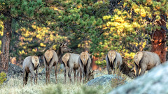 Bottoms Up (chasingthelight10) Tags: photography events travel landscapes mountains places colorado rockymountainnationalpark spraguelake morainepark bearlake emeraldlake dreamlake trailridgeroad horseshoepark things rockymountainelk lakes forests foliage sunrise otherkeywords aspens autumn trees wildlife estespark