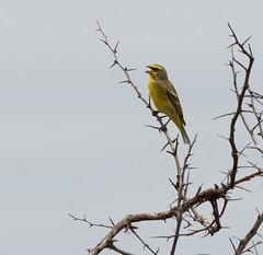 Yellow-fronted Canary (Crithagra mozambica)_DSC4715-editCC (Dave Krueper) Tags: africa southafrica birds birding bird