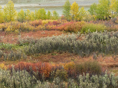 Fall colours near the Highwood River (annkelliott) Tags: alberta canada seofcalgary saskatoonfarm marketgarden alongthehighwoodriver nature scenery landscape valley river water colour colourful fall autumn trees shrubs outdoor earlyfall 23september2018 fz200 fz2004 panasonic lumix annkelliott anneelliott ©anneelliott2018 ©allrightsreserved