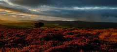 Late Summer, Exmoor (EmPhoto.) Tags: exmoor uk heather landscapepassion sonya7rm2 sonyzeiss2470mm nationalpark sunrise dawn panoramic emmiejgee lonetree