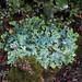Lung Lichen