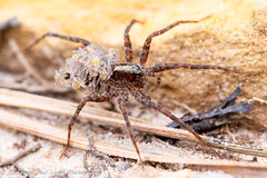Wolf Spider carrying spiderlings! (Tubs McHam) Tags: small matthewpaullewis tubsmcham spiderlings macro sigma105mm sigma nature wolfspider yn24ex yongnuoyn24ex canon canon6d yongnuo dof