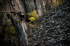 Looking up (PentlandPirate of the North) Tags: dinorwic slate quarry snowdonia dalishole lonetree gwynedd dinorwig