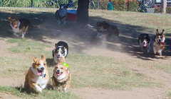 Sacramento Corgi Pack meet up 10/7/18 (etgeek (Eric)) Tags: sacramentocorgipack corgi pembroke short stumpy dog playtime welshcorgi n6oim 9682742