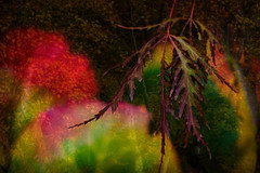 The Colors of Autumn (Colormaniac too - Many thanks for your visits!) Tags: autumn leaves colorful autumnleaves japanesemapleleaf digitalpainting topazstudio topaztextureeffects doubleexposure netartll hss