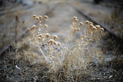 Thistle (feliperodriguez) Tags: summiluxr50mm railroad bokeh thistle plant drought stilllife abandon decay closeup