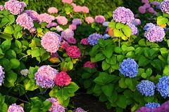 Beautiful Garden (Anthony Mark Images) Tags: hydrangeas flowers garden pink blue lovely beautiful gorgeous pretty fairmontempresshotel victoria bc britishcolumbia canada nikon d850