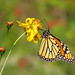 Monarch in October cosmos