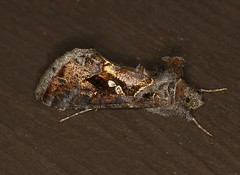 M_101518b (Eric C. Reuter) Tags: moths mothing nature wildlife ny catskills hancock lake cabin insects october 2018 101518 somersetlake