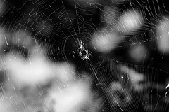 spider study 2 (mannikon) Tags: fuji fujifilm xmount xtrans xpro2 konica ar hexanon 100mmf28 spider web cobweb garden rawtherapee filmsimulation acros adaptedlens manualfocus