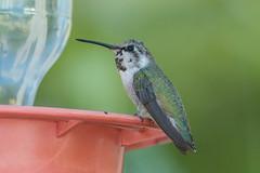 Costa's Hummingbird (Calypte costae) (byjcb) Tags: hummingbird birds henderson nevada unitedstates us