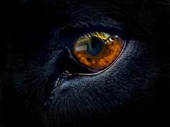 Leroy (Cruzin Canines Photography) Tags: americanpitbullterrier pitbull pit dogs animal pets dog mammal canine iphonexsmax closeup portrait cute pet iphone pitbullterrier animals leroy