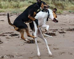 Jakob being outjumped (RCB4J) Tags: ayrshire clydecoast firthofclyde irvinebeach jakob rcb4j ronniebarron sony1650mmf28dtssm sonyslta77v art babygrace beach coast dobermanterrier dogs fun photography play running sand sea siameselurcher traile trailhound wrestling
