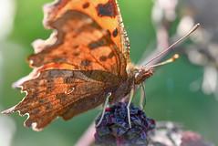 Comma feeding at Brandon Marsh (robmcrorie) Tags: comma butterfly blackberry brandon marsh sassy wildlife nature warwickshire
